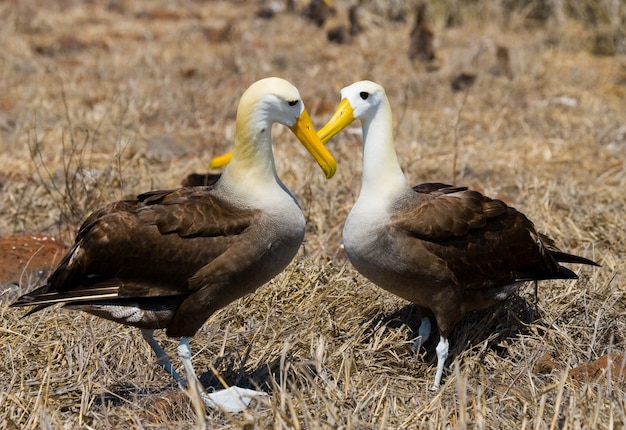 Two albatross on the ground