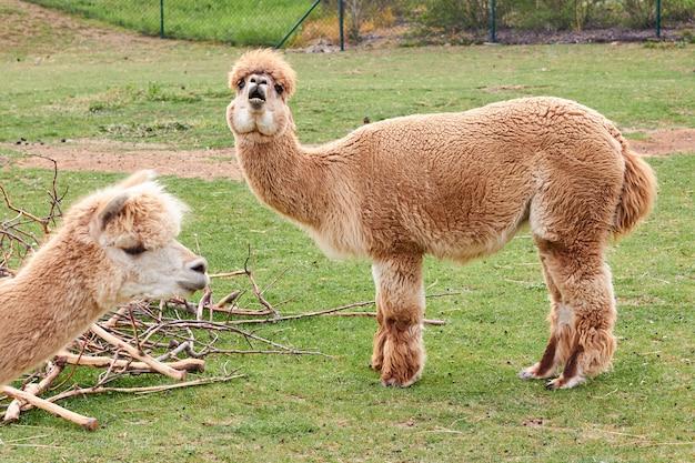 Two alpaca, llama or lama on a green grass on a meadow. farming animals.