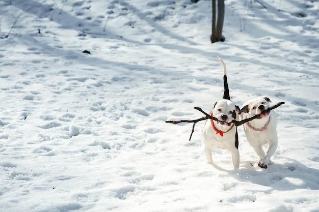 Два американских бульдога играют с палкой в зимнем парке