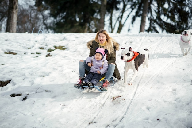 Two american bulldogs run behind a blonde woman with little girl on the sledge