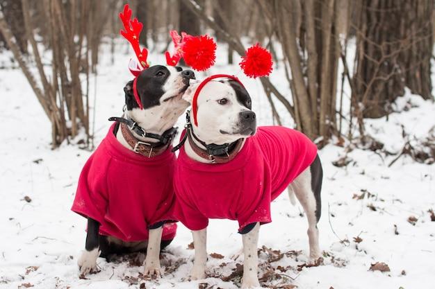 겨울 눈 속에서 포즈를 취하는 두 아메리칸 스 태퍼 드셔 테리어 개