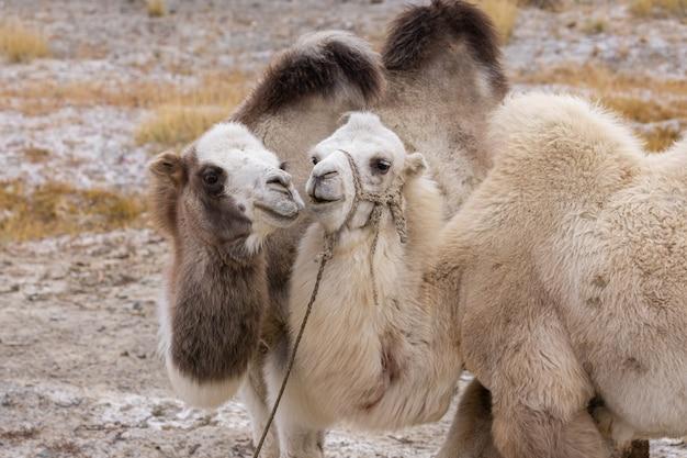 В предгорной степи осенним днем пасутся два влюбленных верблюда. алтай, россия.