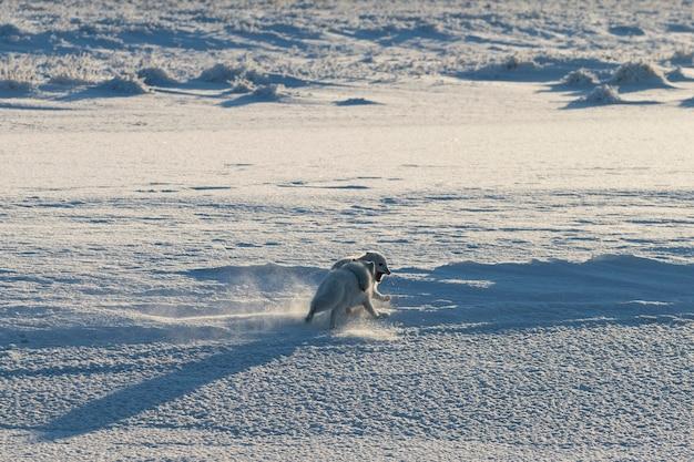야생 툰드라의 두 북극 여우(vulpes lagopus). 놀고 있는 북극여우.