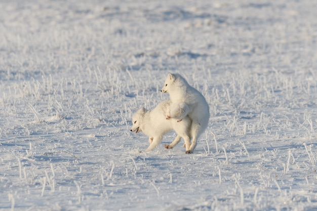 와일드 툰드라의 두 북극 여우(vulpes lagopus). 놀고 있는 북극여우.