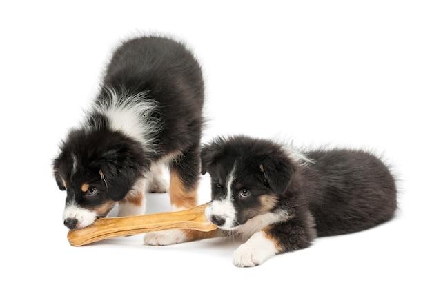白い背景に、ナックルの骨を食べる2つのオーストラリアンシェパードの子犬