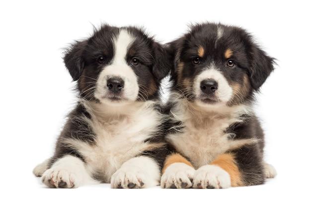 白い背景に横たわっている2つのオーストラリアンシェパードの子犬