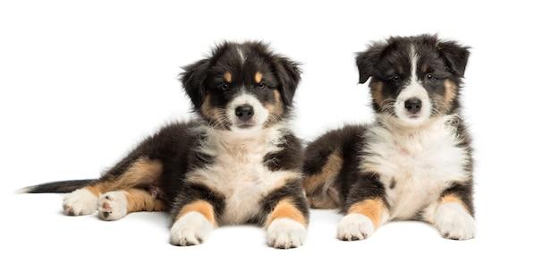 2つのオーストラリアンシェパードの子犬、横になっていると、白い背景のカメラを見て