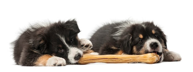 Two australian shepherd puppies, lying and eating knuckle bone against white background