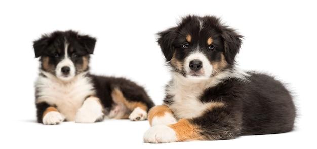 2つのオーストラリアンシェパードの子犬、横になっている、白い背景に対して前景に焦点を当てる
