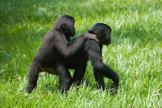 Two baby bonobo are playing with each other. democratic republic of congo. lola ya bonobo national park.