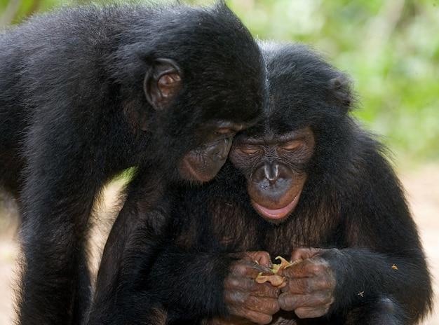 2人の赤ちゃんボノボが草の上に座っています。コンゴ民主共和国。ローラヤボノボ国立公園。