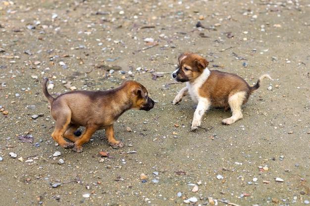 2匹の赤ちゃん茶色のタイの子犬が庭で遊んでいます