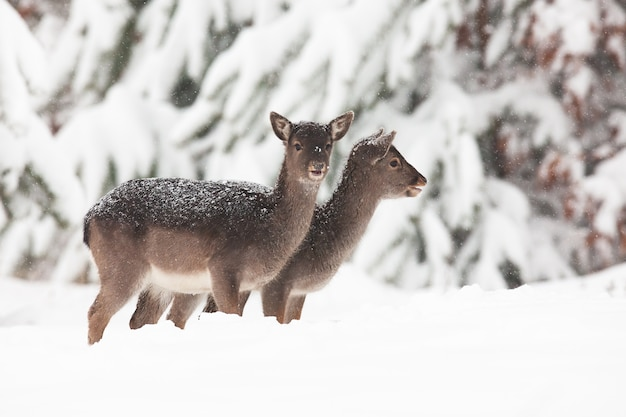 Two baby fallow deers, dama dama, standing on meadow in winter.