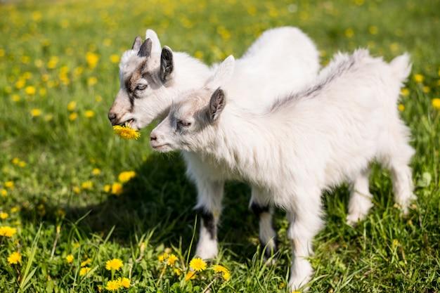 春に咲く草原を歩くヤギ2頭