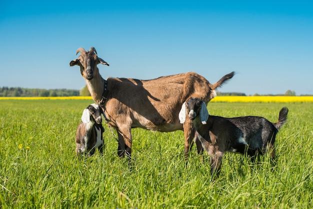 緑の芝生の上に立っている母親と2つの赤ちゃんヤギ