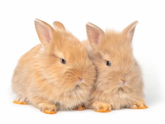 Two baby red-brown rabbits isolated on white background.