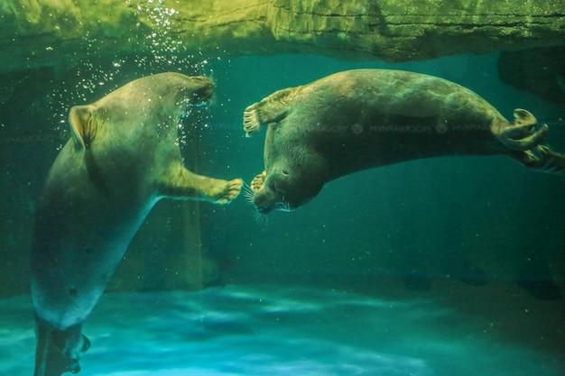 Два байкальских тюленя играют за стеклом непра видны в полный рост