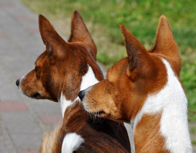 Две басенджи собаки на дороге во дворе