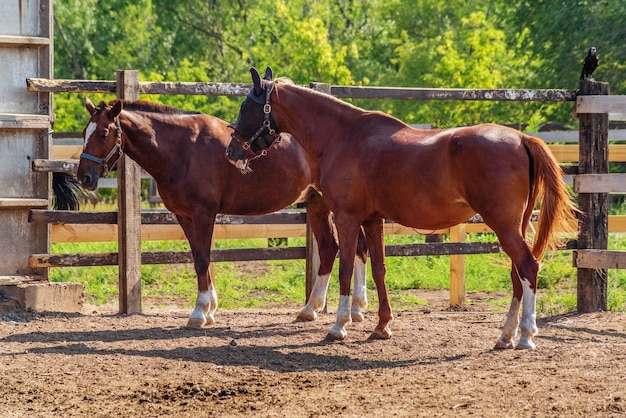 Two bay horses in a summer paddock, outdoors. photo taken in russia, in the city of orenburg