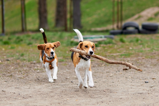 Two beagle dogs play with a wooden stick and run