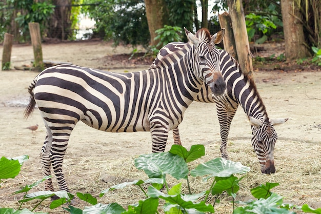 Two beautiful african striped zebra in the pasture, wildlife.