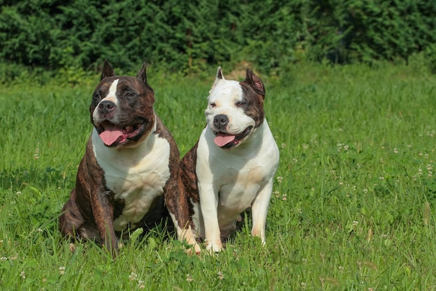Two beautiful american staffordshire terrier