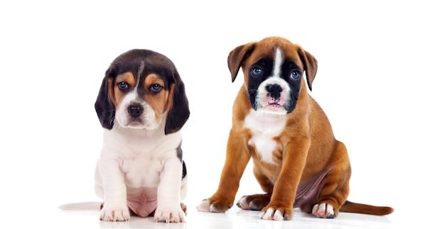 分離された2つの美しい犬
