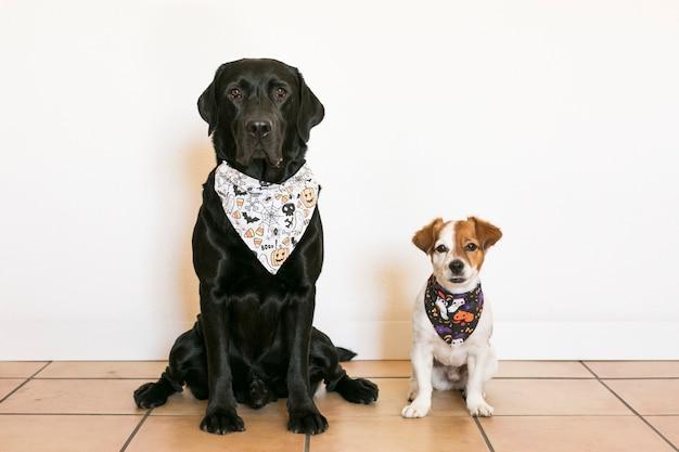 ハロウィーンのバンダナを身に着けている2つの美しい犬。美しい黒のラブラドールと白い背景の上のかわいい小さな小さな犬