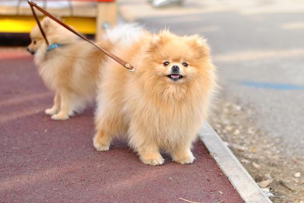 Две красивые пушистые щенки собаки на поводке породы шпиц на прогулке на природе