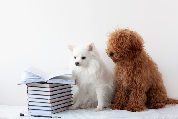 Two beautiful little dogs, a white pomeranian and a red brown poodle, are sitting near a stack of books, one book is open. the concept of learning, school, reading, literature
