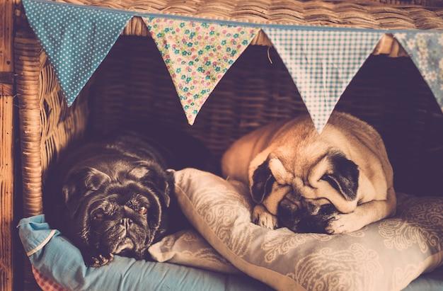 2 つの美しい老犬のパグは、仲良く寝て、近くに住む居心地の良い小さな家で夫婦のような友情で一緒