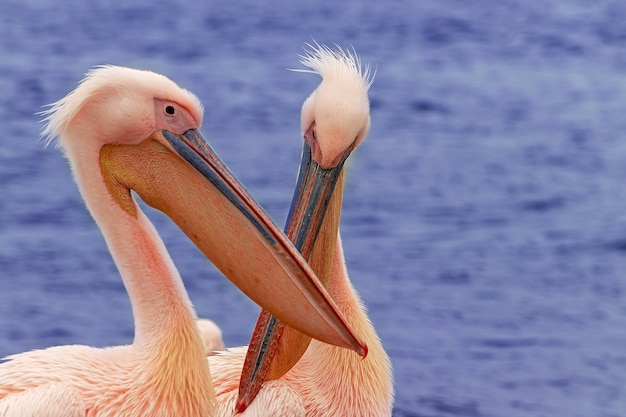 Две красивые розовые птицы пеликан. съемка дикой природы в намибии. пеликан с фоном океана море. дикое животное в природе. крупным планом природы