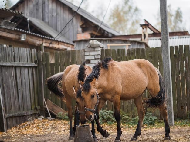 Две красивые породистые лошади едят из корыта.