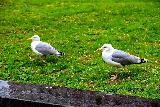 Two beautiful seagull walk on the grass