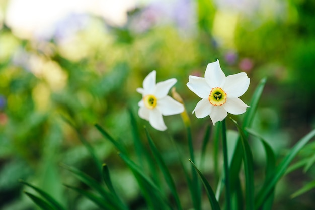 Two beautiful white flowers of narcissus with yellow center on green sunlight.