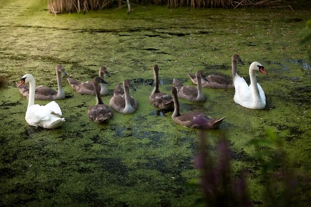 湖で泳ぎながらシグネットを保護する 2 つの美しい白い白鳥