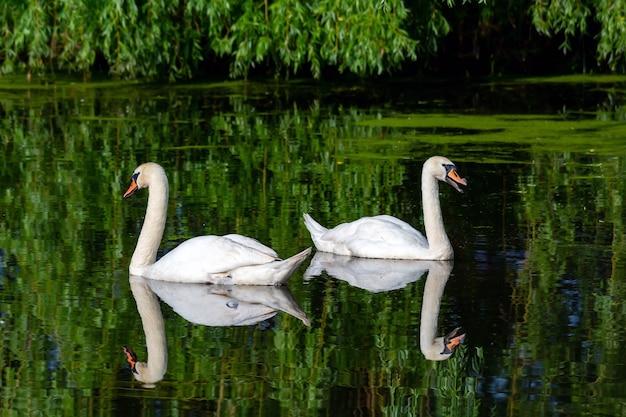 2羽の美しい白い白鳥が池を泳ぐ