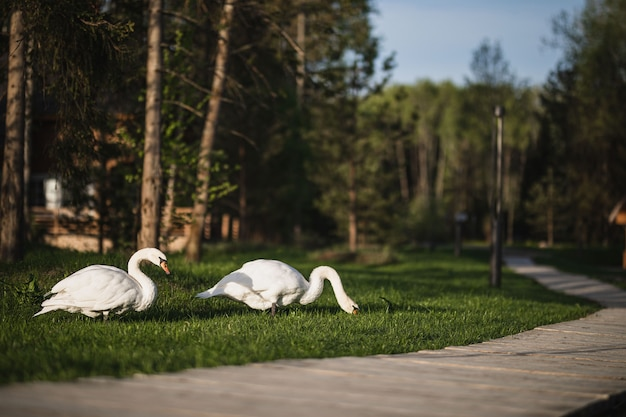 2羽の美しい白い白鳥が早朝に緑の芝生を歩きます