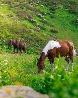クラスナヤポリャナリゾートの緑豊かな高山草原の山々で2頭の美しい野生の馬が放牧します