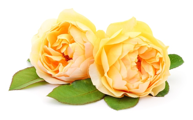 2つの美しい黄色いバラが分離されました。