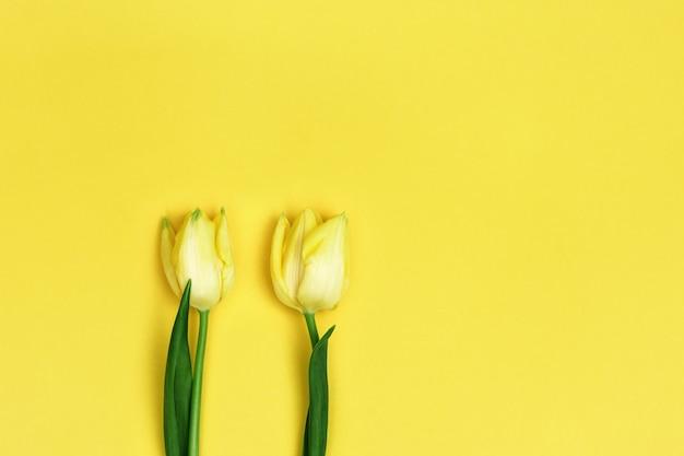 노란색 종이 배경에 두 아름 다운 노란 튤립 3 월 어머니와 여자를위한 여성의 날 선물 배경