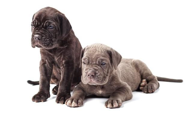 白い背景の上の2つの美しい若い子犬イタリアのマスチフの杖コルソ(1ヶ月)。