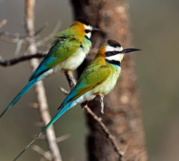 アフリカのシュラウドの枝にいる2匹のハチクイ Premium写真
