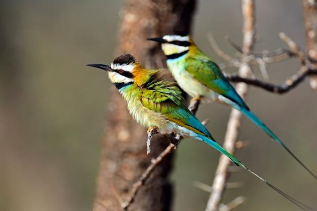 アフリカのシュラウドの枝にいる2匹のハチクイ