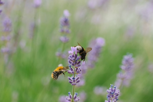 Two bees fly near a lavender flower in a field