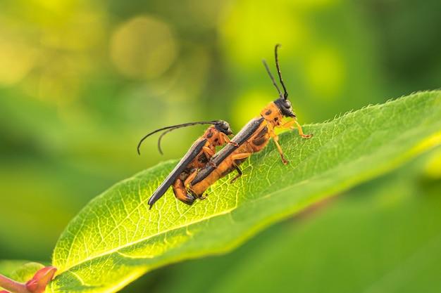 녹색 잎에 두 딱정벌레 친구입니다.
