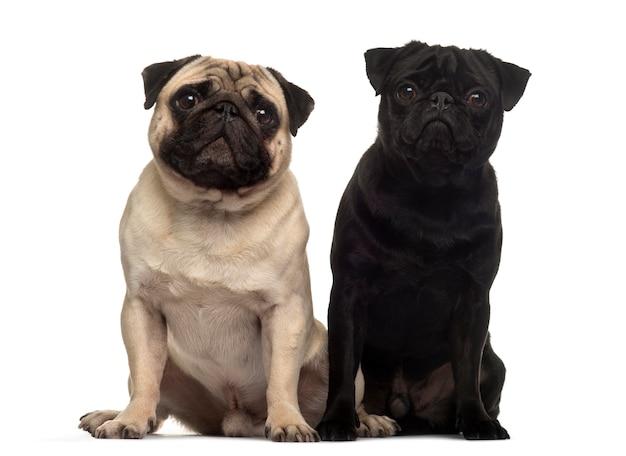 Two beige pug dog sitting together