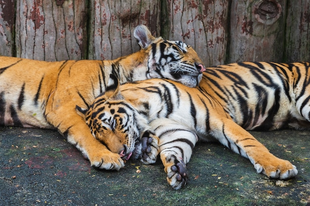 Two bengal tigers sleeping