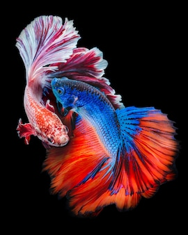 Two betta fish fighting in black background