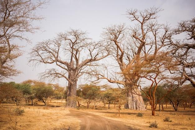 砂地にある2つの大きなバオバブ。 safariの野生生物。アフリカ、セネガルのバオバブとブッシュジャングル。バンディアリザーブ。暑くて乾燥した気候。